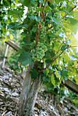 Vine Riesling, Erden, Mosel-Saar, Ruwer, Rhineland-Palatinate, Germany