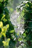 Spiderweb between vine, Scharzhofberg, Wiltingen, Saar, Rhineland-Palatinate, Germany