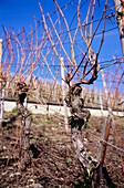 Vine, Heimersheimer Landskrone, Heimersheim, Ahr, Rhineland-Palatinate, Germany