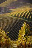 Vineyard Durbacher Plauelrain, Durbach, Baden-Wurttemberg, Germany