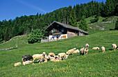 sheep at alpine hut Bubenaualm, Kranzhorn, Chiemgau range, Tyrol, Austria