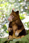 Young treekangaroo eating, Papua New Guinea, Oceania