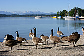 Geese standing at the shore in the sunlight, lido of Tutzing, Lake Starnberg, Bavaria, Germany