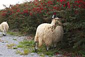 outdoor photo,sheep at  Irish Famine Visitor Centre, Dingle Peninsula,  County Kerry, Ireland, Europe