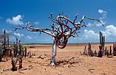 Dead tree and cactuses, Netherlands Antilles, Bonaire, Bonaire