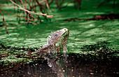 Green leguan, green iguana in water, Iguana iguana, Netherlands Antilles, Bonaire, Bonaire, Washington Slagbaai National Park, Pos Mangel