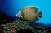 French Angelfish, Pomacanthus paru, Martinique, French West Indies, Caribbean Sea