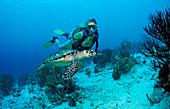 Scuba diver and Hawksbill sea turtle, Eretmochelys imbricata, Netherlands Antilles, Bonaire, Caribbean Sea