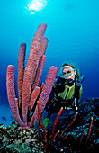 Scuba diver and Lavender Stovepipe sponge, Aplysina archeri, Saint Lucia, French West Indies, Caribbean Sea