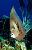 Grey Angelfish, Pomacanthus arcuatus, Netherlands Antilles, Bonaire, Caribbean Sea