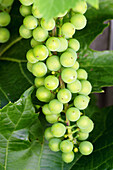 Bunch of grapes on vine. Long Grove, Illinois. USA