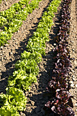 Richmond, Illinois, rows of lettuce in field of organic farm, red leaf and green leaf lettuce