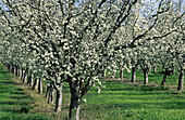 Prune orchard, spring bloom. Yolo County, California. USA.
