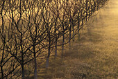 Leafless orchard, mist, dawn color. Sutter County. California. Central Valley. USA.