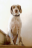 Animal, Animals, At home, Attention, Attentive, Close up, Close-up, Closeup, Color, Colour, Contemporary, Dog, Dogs, Home, Indoor, Indoors, Inside, Interior, Looking, Looking at camera, Mammal, Mammals, One, One animal, Pet, Pets, Seated, Sit, Sitting, S