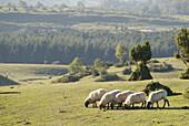 Agriculture, Animal, Animals, Basque Country, Color, Colour, Country, Countryside, Daytime, Europe, Euskadi, Euskal Herria, Exterior, Farm animals, Farming, Grassland, Grasslands, Graze, Grazing, Herbivore, Herbivores, Herbivorous, Livestock, Mammal, Mam