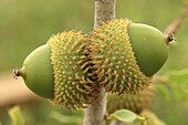 Kermes Oak (Quercus coccifera), acorns