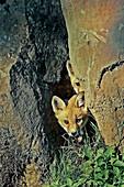 Red Fox (Vulpes vulpes), juvenile