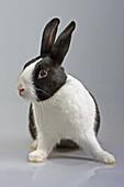 Domestic Rabbit (Oryctolagus cuniculus). Dutch breed.