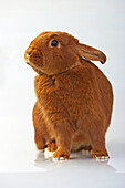 Domestic Rabbit (Oryctolagus cuniculus). Thrianta breed.