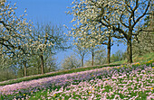 Wild flowers meadow with cherry tree orchard. Germany