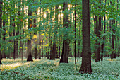 Ramson in spring forest. (Allium ursinum). Hainich National Park, Thueringen, Germany.