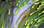 Abstract, Anemone, Animal, Animals, Background, Backgrounds, Bali, Close up, Close-up, Closeup, Color, Colour, Detail, Details, Green, Horizontal, Indian ocean, Indonesia, Invertebrate, Invertebrates, Marine, Marine life, Natural background, Natural back