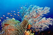 Reef is alive with a huge anemone (Heteractis magnifica) butted against a large soft coral species (Melithaea sp.) and surrounded by Anthias and Clownfish, Raja Ampat, Indonesia, Indo-Pacific Ocean
