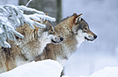Wolves (Canis lupus). Bayerischer Wald National Park. Germany.