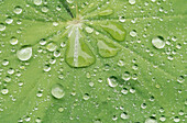 Leaf with raindrops at Lady s Mantle (Alchemilla vulgaris).