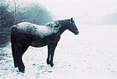 Animal, Animals, B&W, Black-and-White, Cold, Coldness, Country, Countryside, Covered, Daytime, Exterior, Farm animals, Farming, Frost, Frosted, Hoarfrost, Horizontal, Horse, Horses, Livestock, Mammal, Mammals, Monochromatic, Monochrome, Motionless, Natur
