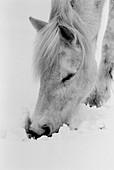 Aussen, Außen, Ein Tier, Eins, Jahreszeit, Jahreszeiten, Kopf, Köpfe, Nahaufnahme, Nahaufnahmen, Natur, Pferd, Pferde, Säugetier, Säugetiere, Schnee, Schwarzweiss, Suche, Suchen, Tageszeit, Tier, Tiere, Verschneit, Vertikal, Vieh, Winter, K06-205736, age