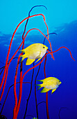 Golden damsels (Amblyglyphidodon aureus) with gorgonian (Junceella juncea). Digital composite: the fish have been photographed in Thailand, the gorgonian has been photographed in the Red Sea.
