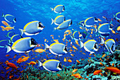 Andaman sea, Animal, Animals, Blue, Color, Colour, Coral, Coral reef, Fish, Fishes, Group, Groups, Horizontal, Marine life, Nature, Powder-blue surgeonfish, School, Schooling, Schools, Sea, Thailand, Underwater, Underwater life, Zoology, K06-223120, agef