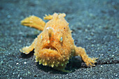 Shaggy frogfish (Antennarius hispidus). Lembeh Strait, North Sulawesi, Indonesia.