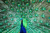 Front view peacock (Pavo cristatus) with tail spread