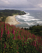 Foxglove (Digitalis spp. ) blooms on hills above coast. Cascade Head. Oregon. USA