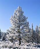 Hoar frost and ponderosa pine tree (Pinus ponderosa). Sundance Ranch. Bend. Deschutes County. Oregon. USA