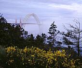 Scotch broom (Cytisus scoparius) and Yaquina Bay Bridge in fog. Newport. Lincoln County. Oregon