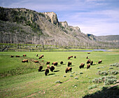Bison graze along the Madison river. Yellowstone National Park. Teton County. Wyoming. USA.