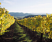 Late afternoon light on vineyard in autumn. Washington County. Oregon. USA.