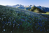 Wildflower meadow on Mt. Rainier from Paradise, Tatoosh Range, Mt. Rainier National Park. Washingon. USA