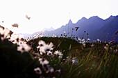 Cotton grass on meadow, mountain scenery in background, Allgau, Bavaria, Germany