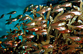 Pygmy sweepers between Corals, Parapriacanthus ransonneti, Maldives, Indian Ocean, Meemu Atoll