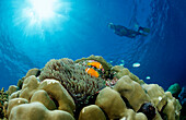 Maldive Anemonefishes and Snorkeler, Amphiprion nigripes, Maldives, Indian Ocean, Meemu Atoll