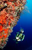 Spotfin Lionfish at Wall and Diver, Pterois antennata, Maldives, Indian Ocean, Felidu Atoll