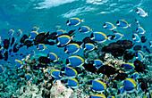 schooling Surgeonfishes, Powder Blue Tang, Acanthurus leucosternon, Maldives, Indian Ocean, Meemu Atoll