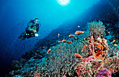 Diver and Maldive Anemonefishes, Amphiprion nigripes, Maldives, Indian Ocean, Meemu Atoll