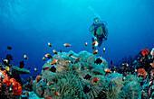 Maldive-Anemonefish and Diver, Amphiprion nigripes, Maldives, Indian Ocean, Meemu Atoll