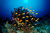 Coral Reef with Anthias, Pseudanthias squamipinnis, Maldives, Indian Ocean, Meemu Atoll
